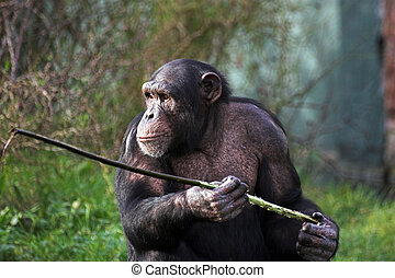 Chimp - A female chimpanzee holding a stick