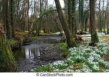 Ancient Snowdrop Forest - Ancient snowdrop forest of oak...