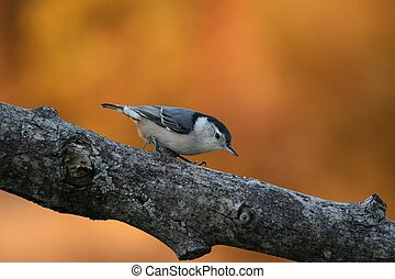 Orange glow - White Breaste Nuthatch on tree limb with the...