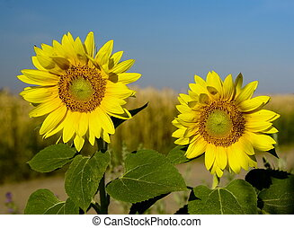 Two sunflowers - Sunflowers on field