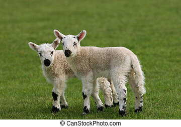 Twin Lambs - Two lambs standing together in a field in...