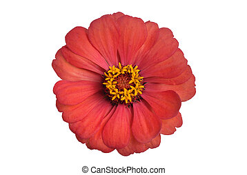 Zinnia Flower - Zinnia flower blossom isolated on white
