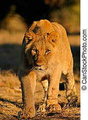 Stalking lion - A young African lion Panthera leo stalking...