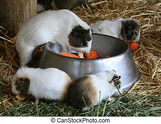 Guinea Pigs - Four small guinea pigs eating from a steel...
