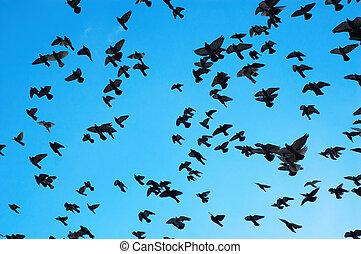 voando, Pombos
