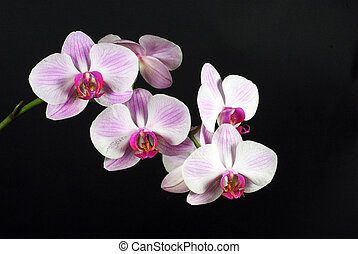 orchid - beautiful pink orchid on black backgraund, flower