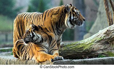 tiger - animal, bengal, big, black, cat, cats, jungle,...