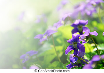 Violets blooming in a garden in early spring - background...