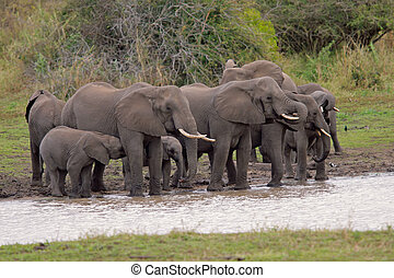 African elephants - Herd of African elephants (Loxodonta...