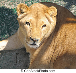 lioness - Young lioness in a zoo