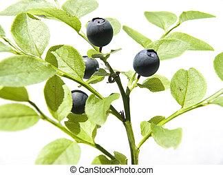 Bilberry on light