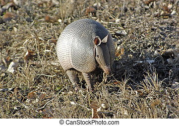 Armadillo - An armadillo searching for food.