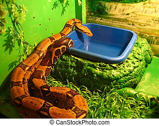 boa constrictor drink water in the serpent-zoo