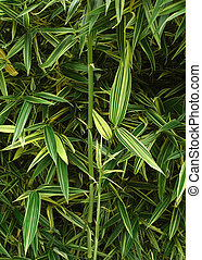 bamboo leaves - young bamboo plants or trees with striped...