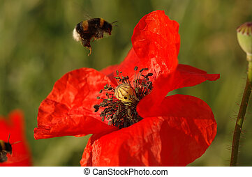 Pollination - landing of a bumblebee