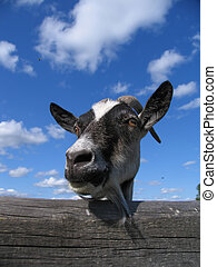 goat - Head of a goat on a background of the cloudy sky