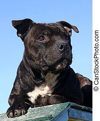 cute staffordshire - head of purebred staffordshire bull...