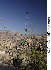 Ocotillo and Apache Trail - Ocotillo Cactus above Apache...
