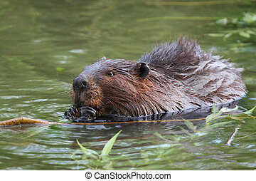 I am Canadian - beaver