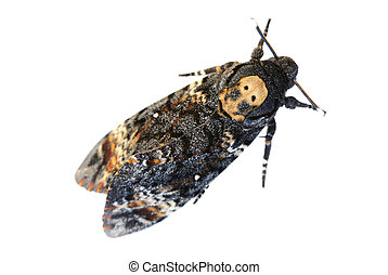 Deaths Head Hawkmoth over white The skull shape on the back...