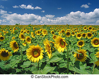 Sunflowers - A huge yellow field of sunflower near Lake...