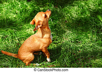 Small dog - A young chihuahua puppy outside on green grass