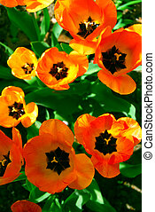 Tulips - Bright orange spring tulips view from top