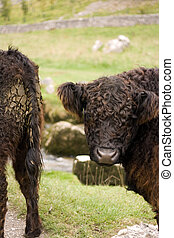 Moo Cows - Old breed of cows in the Malham, Yorkshire Dales...
