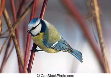 Blue tit in the bushes - Blue tit sitting in the bushes...