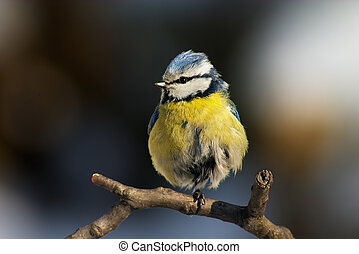 Blue tit - Blue-yellow tit standing on its one foot on the...