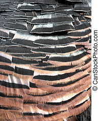 turkey tail feathers - Close-up of trukey tail feathers with...