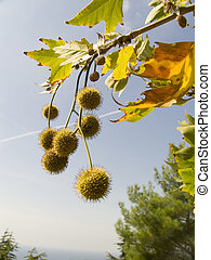 Freakish prickly round fruits of an autumn tree on a...