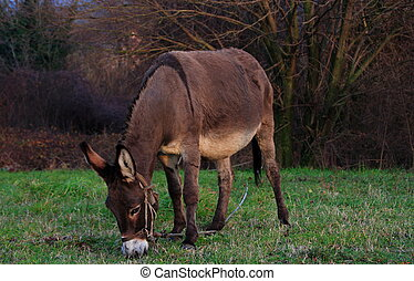 Donkey on the grass - A young pregnant she-donkey eats some...