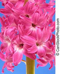 pink hyacinth - Close-up of pink hyacinth on a beautiful day...