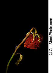 Love lost - A wilting rose signifies lost love, divorce, or...