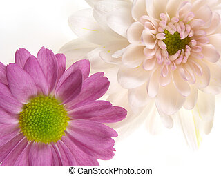pink chrysanthemums - Close-up of pink chrysanthemum heads...