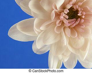 pink chrysanthemums - Close-up of pink chrysanthemum heads...