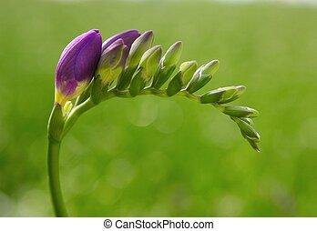 Freesia - single purple freesia in greenhouse