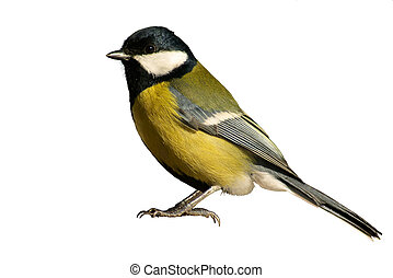 Tomtit bird isolated on white - Yellow tomtit bird, isolated...