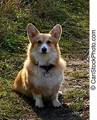 Pembroke Welsh Corgi - 4 year old purebred pembroke welsh...