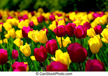 Tulip field - Field of colorful yellow and purple tulips
