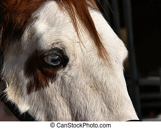 blue-eyed horse - Close-up profile of white faced horse with...