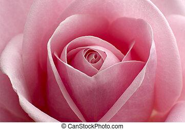rose - beautiful pink rose center close up shoot