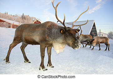 Reindeer - A reindeer holds its ground while watching for...