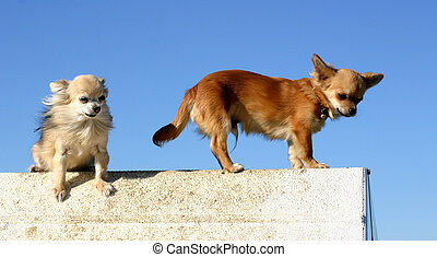 two chihuahuas - two purebred chihuahua: beautiful mexican...