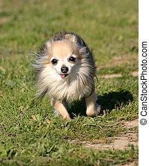 running chihuahua - running purebred chihuahua in grass:...