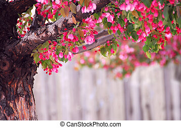 Apple tree - Blooming pink apple tree in spring orchard