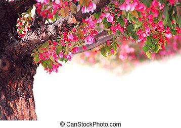 pomme, arbre