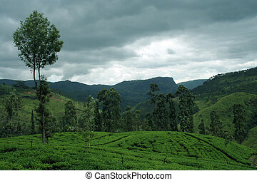 Tea plantations in Sri Lanka