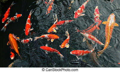 many carp fishes - red carp \\\'koi\\\' fishes in japanese...